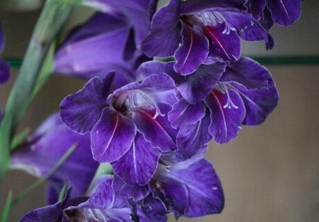 Гладиолус 'Violetta' [Виолетта] (386-СР-1978 Walker-Moffet)